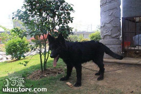 比利时牧羊犬吃什么好 比利时牧羊犬狗粮选择推荐1