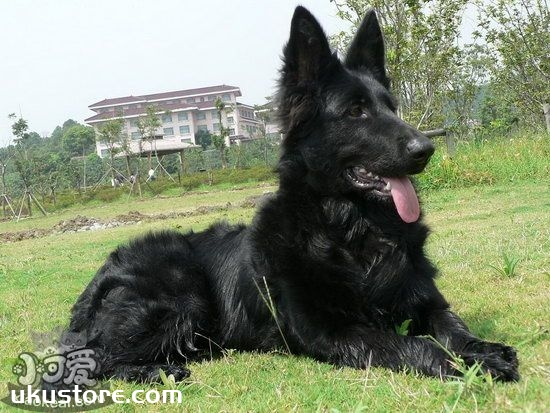 比利时牧羊犬怎么养 比利时牧羊犬饲养护理方法1