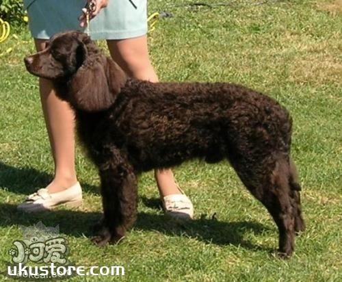 美国水猎犬掉毛怎么办 美国水猎犬掉毛程度介绍