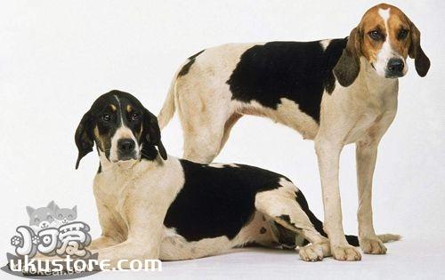 英国猎狐犬性格怎么样 优秀护卫犬种