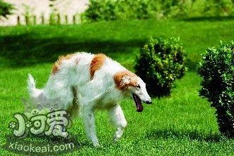 苏俄猎狼犬每天吃多少 苏俄猎狼犬食量介绍