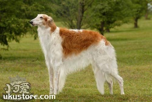 苏俄猎狼犬吃什么 合理科学喂养苏俄猎狼犬