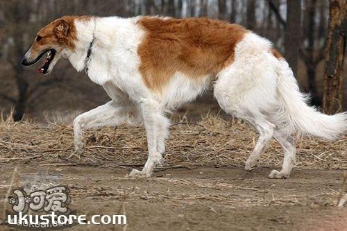 苏俄猎狼犬不能吃什么 苏俄猎狼犬禁忌食物介绍