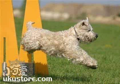 爱尔兰软毛梗幼犬怎么养 爱尔兰软毛梗喂养指南
