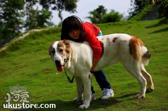 中亚牧羊犬吃什么狗粮好 中亚牧羊犬狗粮选择推荐1