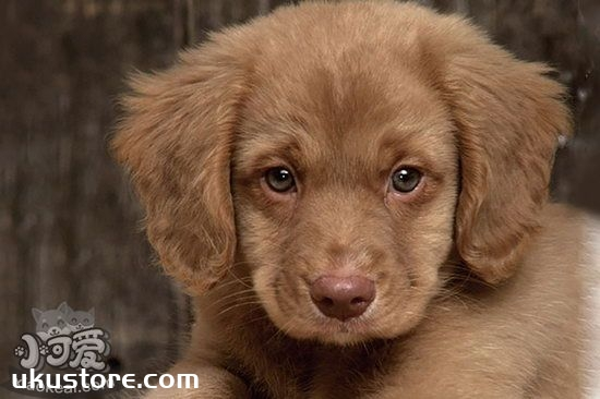 新斯科舍猎鸭寻猎犬幼犬怎么养 猎鸭寻猎犬幼犬照顾方法1