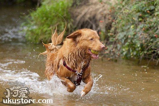 新斯科舍猎鸭寻猎犬日常护理方法1