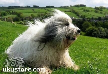 波兰低地牧羊犬好养吗 波兰低地牧羊犬日常喂养方法