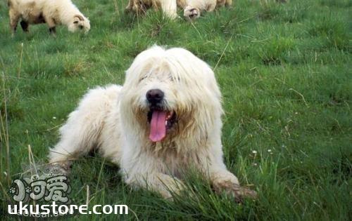 波兰低地牧羊犬怎么美容 毛发美容教程