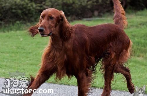 爱尔兰雪达犬饲养需要什么 爱尔兰雪达犬饲养需求
