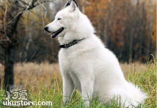 芬兰波美拉尼亚丝毛狗性格好不好 芬兰狐狸犬性格怎么样1