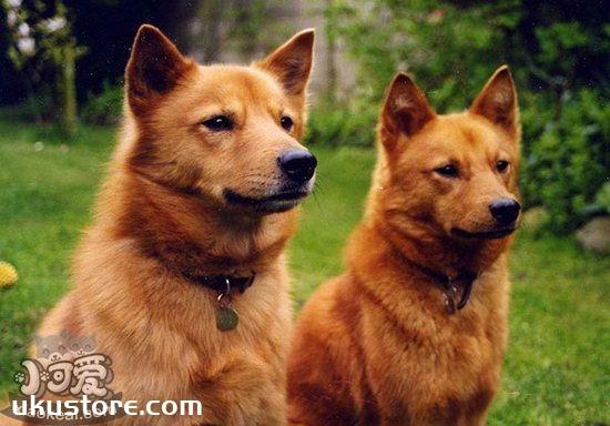 芬兰波美拉尼亚丝毛狗怎么美容 芬兰狐狸犬美容方法1