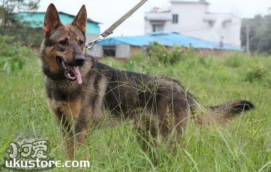 昆明犬耳朵怎么清洁 昆明犬耳朵清洁护理方法1
