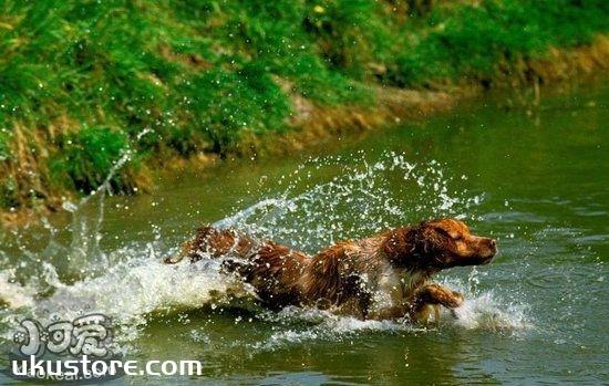 布列塔尼犬怎么养 布列塔尼犬饲养方法1