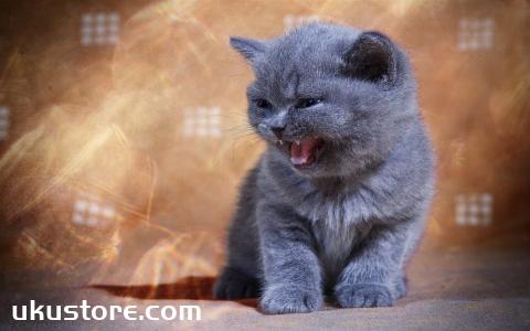 英国短毛猫好养吗 英短脾气好不好