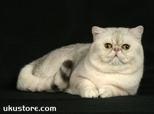 加菲猫不爱吃东西怎么办 异国短毛猫喂养方法