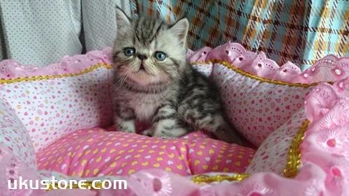 加菲猫怎么喂罐头 异国短毛猫罐头选购技巧