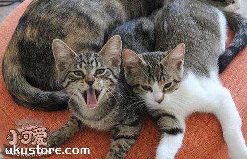养中国狸花猫应该注意什么 中国狸花猫饲养注意事项