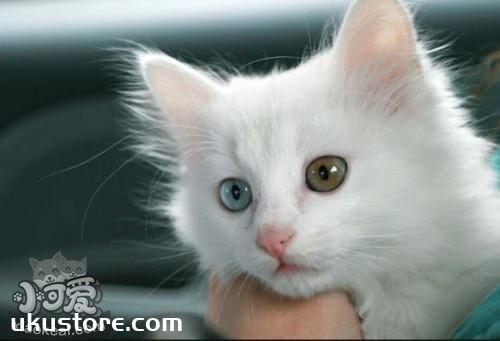 幼猫能吃鱼吗 山东狮子猫幼猫喂食禁忌