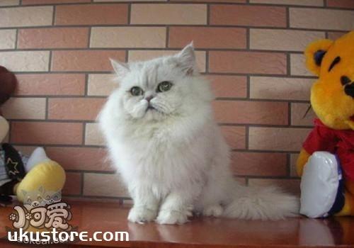 幼猫能吃罐头吗 褴褛猫多大可以吃罐头