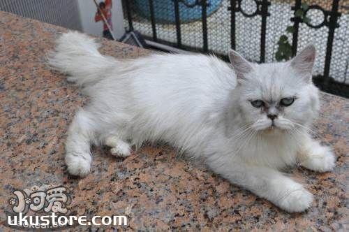 金吉拉猫能吃狗粮吗 不要让猫吃狗粮