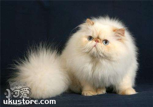 喜马拉雅猫吃什么 喜马拉雅猫喂食要求