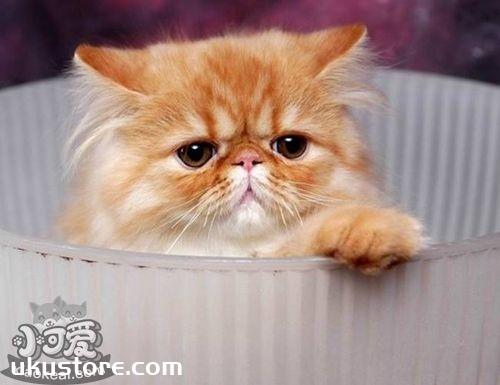 喜马拉雅猫性格怎么样 喜马拉雅猫性格介绍