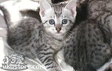 埃及猫掉毛怎么办 埃及猫毛发护理方法