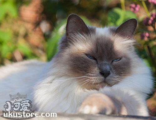 伯曼猫食欲不好是什么原因 伯曼猫食欲差解决办法