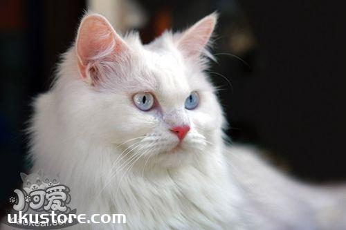 土耳其安哥拉猫好养吗 安哥拉猫非常爱干净