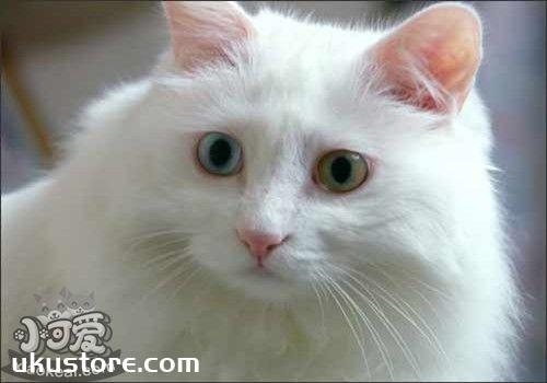 土耳其安哥拉猫掉毛怎么办 注意适度洗澡