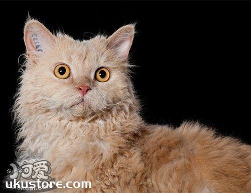 塞尔凯克卷毛猫好养吗 塞尔凯克卷毛猫养护知识