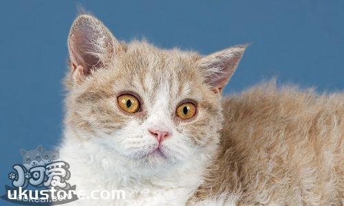 塞尔凯克卷毛猫喜欢吃什么 塞尔凯克卷毛猫喂食指南