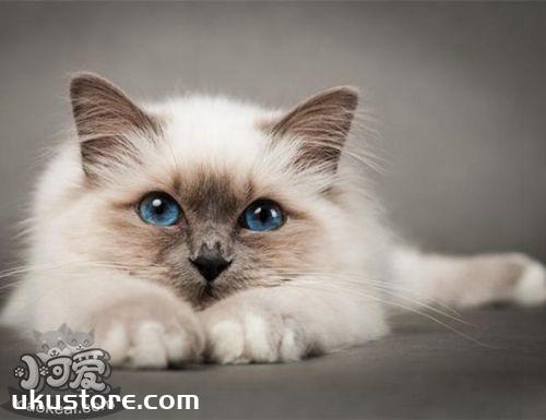 如何饲养巴厘猫 巴厘猫饲养方法