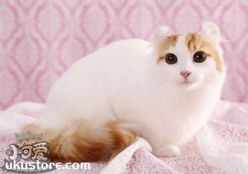 美国卷耳猫幼猫吃什么 定时定量喂食幼猫