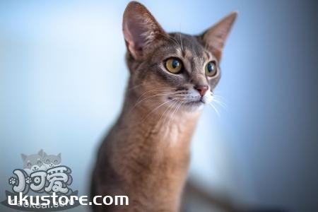 阿比西尼亚猫粘人吗 阿比西尼亚猫习性介绍
