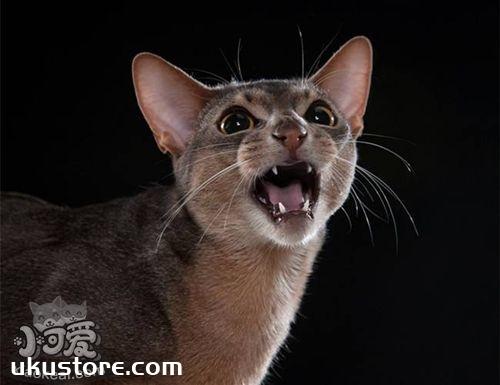 阿比西尼亚猫性格怎么样 阿比西尼亚猫性格介绍