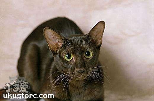 哈瓦那猫性格如何 哈瓦那棕猫性格介绍