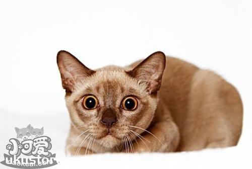 缅甸猫幼猫怎么养 幼猫饲养注意事项