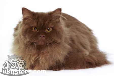 英国长毛猫不能吃什么 英国长毛猫禁忌食物