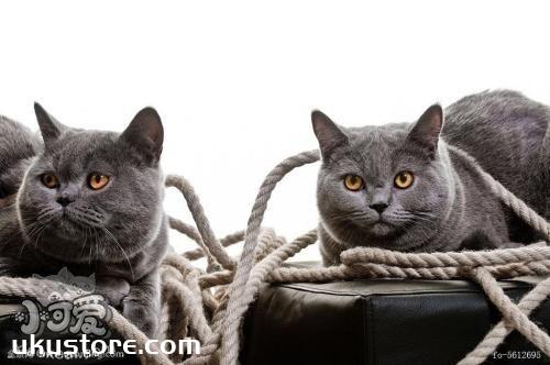 卡尔特猫性格怎么样 卡尔特猫性格介绍