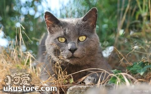 卡尔特猫好养吗 卡尔特猫饲养手册