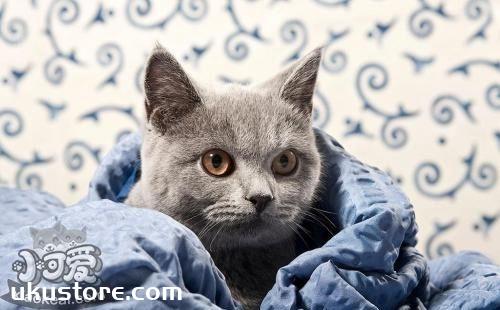 卡尔特猫怎么美容 卡尔特猫美容方法