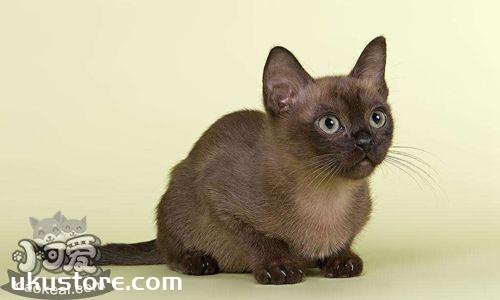 European Burmese cat sticky, European Myanmar cat's degree of introductionThumbnail