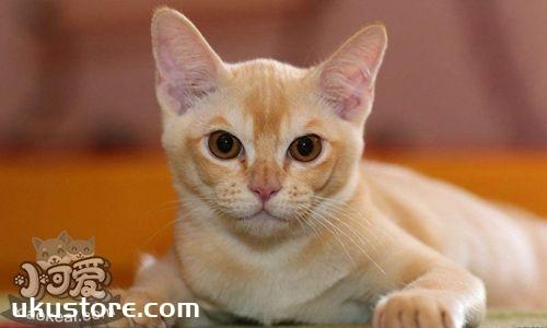欧洲缅甸猫洗澡乱动怎么办 欧洲缅甸猫洗澡方法