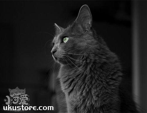 内华达猫怎么养 内华达猫饲养知识