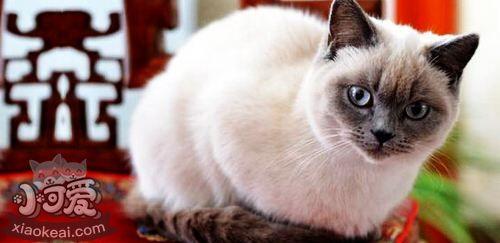 重点色短毛猫掉毛怎么办 重点色短毛猫毛发梳理方法