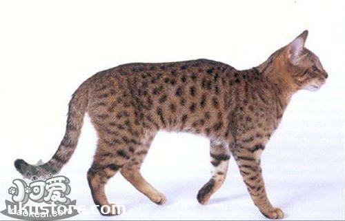 加州闪亮猫能吃狗粮吗 不能长期食用狗粮