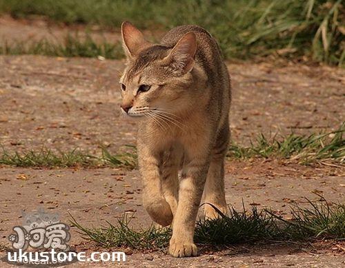 非洲狮子猫耳朵怎么清理 非洲狮子猫耳朵清理方法