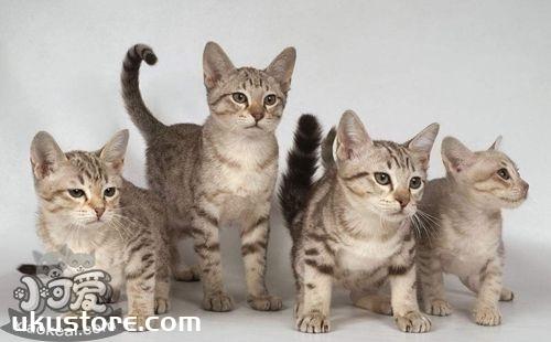 澳大利亚雾猫幼猫怎么喂养 幼猫喂养指南